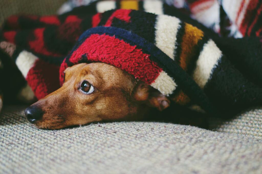 dog hiding under blanket from cold